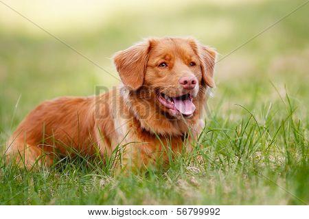 Brown Toller Dog