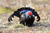 Portrait Of A Lekking Black Grouse