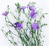stock photo of flax plant  - Beautiful flowers of flax on white background - JPG