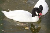 picture of black swan  - Pair of black necked swans in the autumn lake - JPG