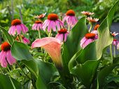 Calla Lily And Coneflowers