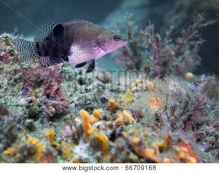 Hawkfish Hovering - Home Coral