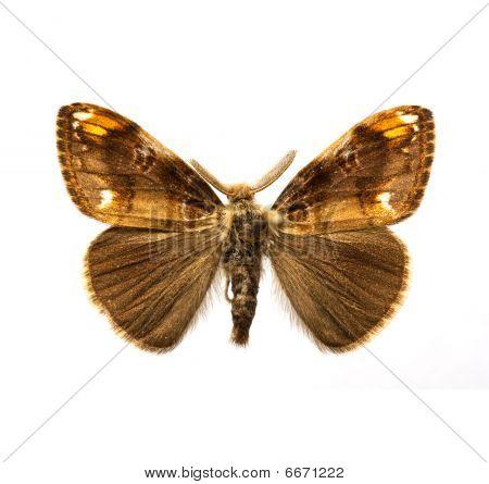 Butterfly - Scarce Vapourer