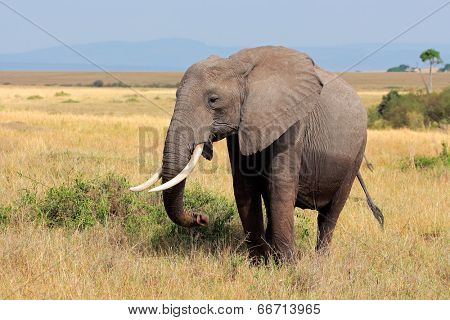 African elephant (Loxodonta africana), Masai Mara National Reserve, Kenya