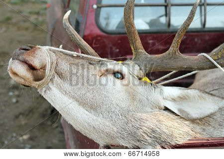 Red Deer Trophy In Truck