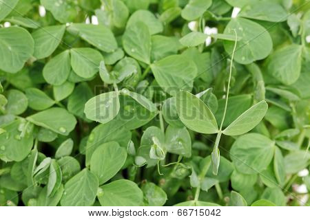 leaves of sprouted pea