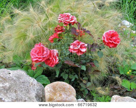 Roses and hordeum