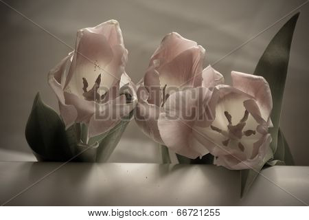 Flowers Of Soft Pink Tulips With Muted Colors