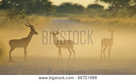 Impala - Wildlife Background from Africa - Fight of Dust and Color in Nature