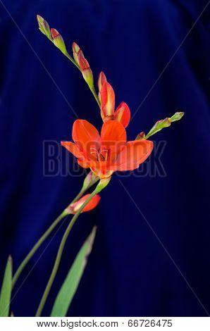 Orange Gladiolus Flowers Over Blue - Gladiolus Sp.