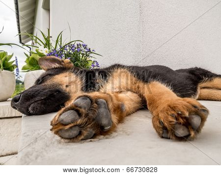 German shepherd puppy blithely sleeping outside on the house porch
