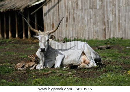 Hungarian Grey Cow (bos Primigenius Hungaricus)