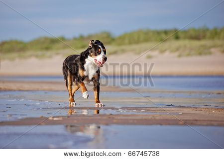 great swiss mountain dog outdoors
