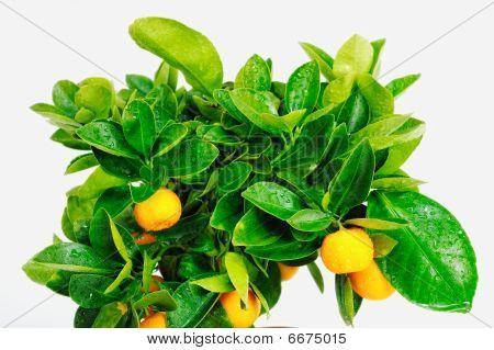 Mandarin Branch