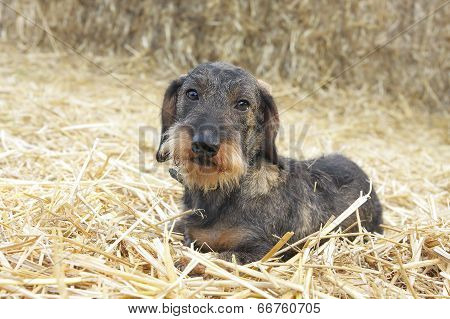 Wire Haired Dachshund Dog Lying On Hay