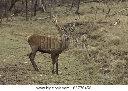 Wapiti in a forest