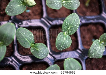 Cucumber seedlings in pots