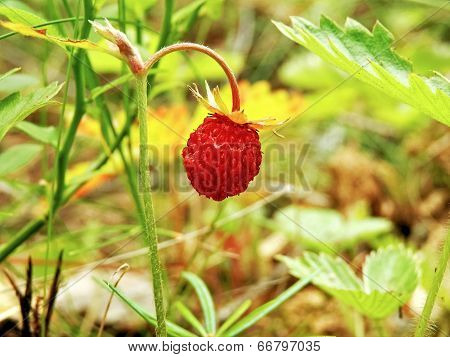 One Strawberry In The Forest Decorated With Nature