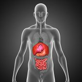 stock photo of intestines  - The small intestine  - JPG