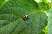 image of potato bug  - Colorado Beetle  - JPG
