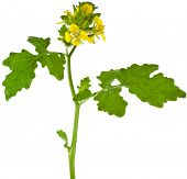 picture of cruciferous  - yellow mustard plant flowering on a branch   - JPG