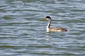stock photo of grebe  - A Single Western Grebe Swimming in the Lake - JPG