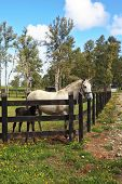 foto of colt  - Thoroughbred white horse with a charming black colt - JPG