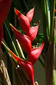 image of heliconia  - Heliconia - JPG