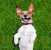 stock photo of puppy dog face  - super funny face dog lying on back on green grass and laughing out loud - JPG