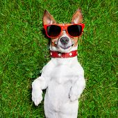 stock photo of comedy  - super funny face dog lying on back on green grass looking crazy - JPG