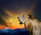 image of animal teeth  - side view close up head shot of young lion roar against beautiful dusky sky and rock mountain use for natural wild life and animals theme