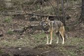 stock photo of coyote  - A single coyote stands watch for food - JPG
