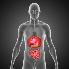 stock photo of small-intestine  - The small intestine  - JPG