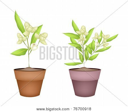 Two Ylang Ylang Flower in Terracotta Pots