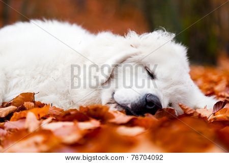 Cute white puppy dog sleeping, relaxing in leaves in autumn, fall forest. Polish Tatra Mountain Sheepdog, known also as Podhalan or Owczarek Podhalanski