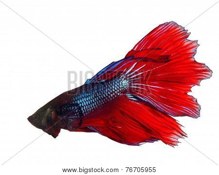 Thai Red Betta Fighting Fish Top Form Isolated White Background
