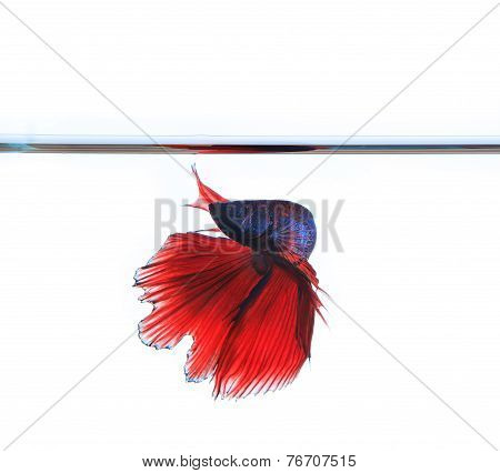 Thai Red Betta Fighting Fish Top Form Under Clear Water Isolated White Background