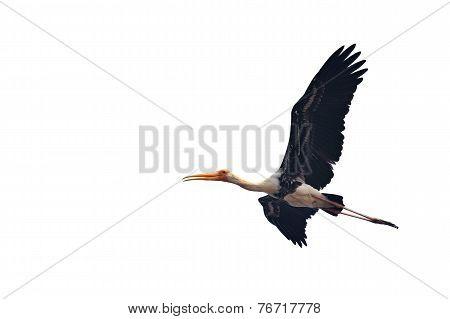 Painted Stork Bird