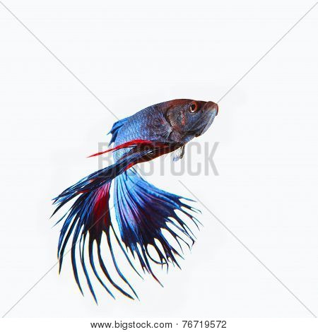Close Up Siamese Blue  Crown Tail Fighting Betta Fish Isolated White Background