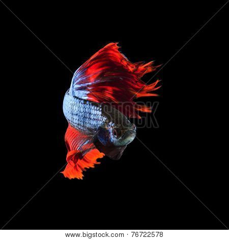 Red Fin Siamese Fighting Betta Fish Full Body And Beautiful Fin Tail Isolated On Black Background