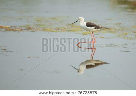 A Black-winged Stilt Walking In The Pond
