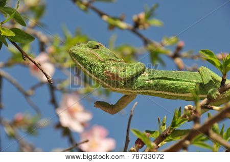 Green Chameleon Jumping