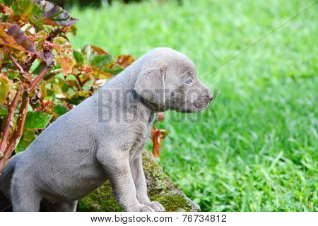 Weimaraner Pup