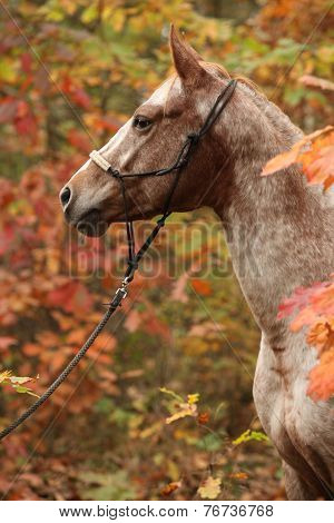 Nice Appaloosa Mare In Autumn Forest