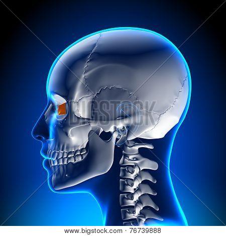 Female Lacrimal Bone - Skull / Cranium Anatomy