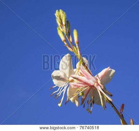 Gaura Spring Flower