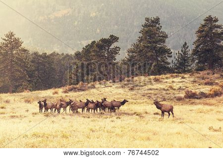 deers in Rocky Mountains NP,USA