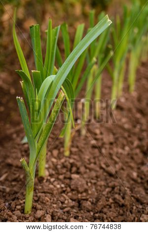 Green Leek Growing From The Soil
