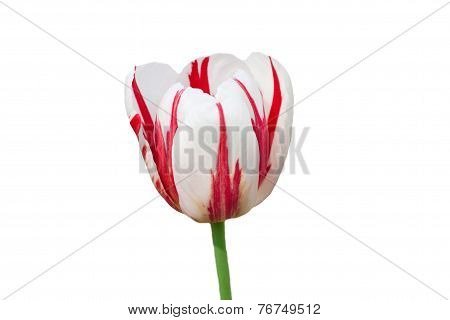 Dual colored red-white tulip on a white background