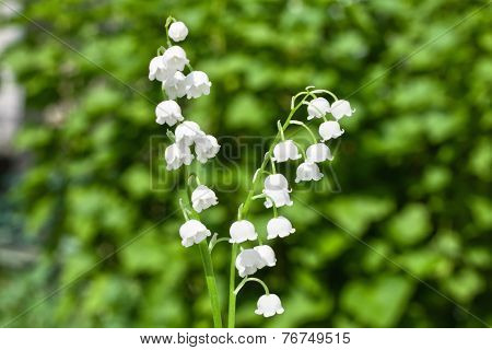lily of the valley in a garden